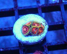 Wwc Rainbow Incinerators Zoas / Palys - Badass Frags Wysiwyg Live Coral Frag
