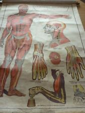 More details for e.j.arnold, anatomy and physiology chart no2, elementary physiology