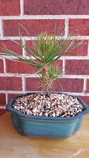 10 x Japanese Black Pine Pinus Thunbergii Seedling Pre-Bonsai / Landscape / Gift