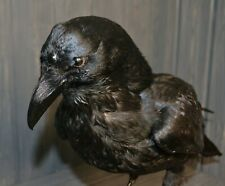 Stuffed raven three-eyed Taxidermy Bird