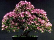 Bonsai-Samen Afrikanischer Seidenakazien-Baum - Seed