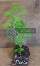 Stevia - Stevia rebaudiana - Live Plant - Sweetleaf, Sweet herb - Culinary Herb