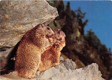 BF39370 marmotte marmot animal animaux