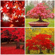 10 semi di Acer rubrum,Acero rosso, semi bonsai