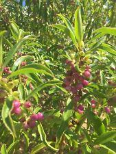 Myoporum laetum - 50 seeds - New Zealand native coastal plant - Ngaio