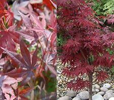 More details for acer palmatum atropurpureum japanese maple plant 40-50cm in a 9cm pot