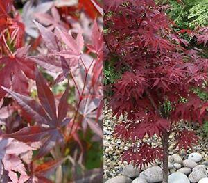 Acer Palmatum Atropurpureum Japanese Maple Plant 40-50cm in a 9cm Pot