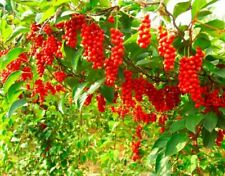 30 Seeds Schisandra chinensis Fruit Tree Medical Bonsai Edible Plant Home Decor