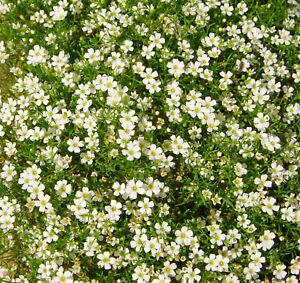 100 Samen Weißes Teppich-Schleierkraut Gypsophila repens Büscheliges Gipskraut