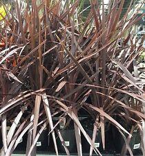 BLACK KNIGHT Cordyline australis palm-like tree plant in 200mm pot