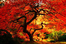 "20 Erable Palmé Rouge du Japon ""Acer Palmatum"" , Red Japanese maple tree seeds"