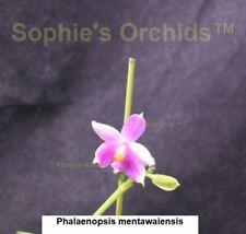 Phalaenopsis mentawaiensis Bare Root Frag T294