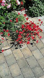 Geum chiloense blazing sunset  3 plants each in 10.5cm pots