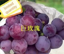"""""""Giant Rose"""" Grapes Aromatic Fragrant Flavor Live Plant 巨玫瑰 Zone 5-9"""