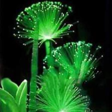 100 Pcs Rare Emerald Fluorescent Flower Seeds Night Light Emitting Plants Garden