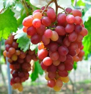 Grape Vitis Plant Pinkdose Rare 'Suffolk Red' - Ready to Plant in 9cm Pot