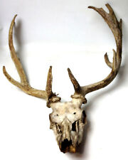 Large Deer Antlers Skull Taxidermy
