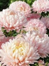 200 Aster peony duchess apricot seeds. Annual.