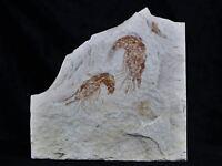2 TWO FOSSIL SHRIMP CARPOPENAEUS CRETACEOUS AGE 100 MILLION YEARS OLD LEBANON