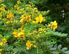 Senna multiglandulosa Buttercup Bush 10 seeds