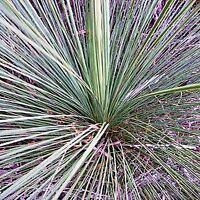 GRASS TREE SEEDS XANTHORRHOEA RESINOSA NATIVE 80 SEED PACK