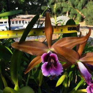 LARGE BRONZE CATTLEYA  ORCHID SPECIES C. tenebrosa PB/BS plant