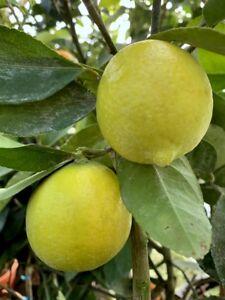 Cocktail Limette  130cm   Citrus latifolia Limettenbaum Tahiti-Limette