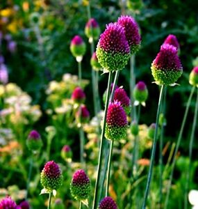 5 Allium Drumstick Bulbs for Planting - Exotic Blooming Onion -
