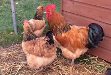 12 Sussex Buff Fertile Hatching Chicken Eggs - Large breed Dual Purpose