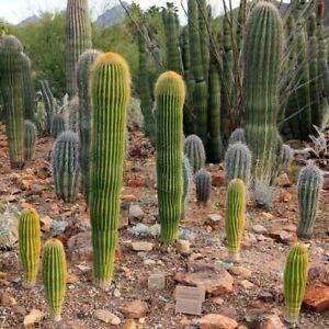 Giant Saguaro Cactus Seeds (Carnegiea gigantea) 25+Seeds