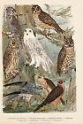 Vögel Wiesenweihe Schnee-Eule Waldohreule Alter Farbdruck 1923 Bild Druck Print