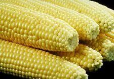 Sweetcorn Seeds - BIG JIM - North American Favorite - BULK - One Pound  Seeds