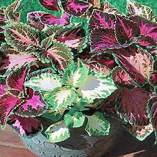 COLEUS SEED RAINBOW MIX COLOURED FOLIAGE HARDY FLOWERING 175 SEEDS
