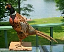 """Mounted Ring-Necked Pheasant (North American) Birds Taxidermy 29"""". Wood Base"""