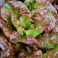 4,000 Gourmet Lettuce Seed Mix - 5 Varieties - Bulk Seed - Heirloom Non-GMO
