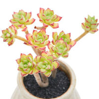 Succulent Live Plant -Echeveria Supia(Gather Multiple)- Home Garden Lovely Plant