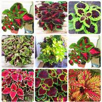 Rainbow Mix Coleus 100 Pcs Seeds Bonsai 15 Kinds Flowers Grass Garden Tree NEW X