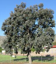 Red Box (Eucalyptus polyanthemos) - 100 Seeds