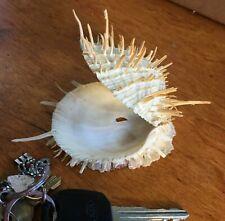 Spiny Oyster Sea Shell