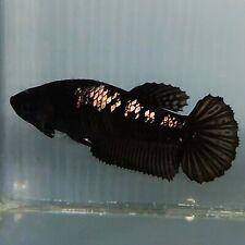 Live Betta Fish Black Gold Samurai HMPK Female from Indonesia Breeder