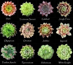6 Small Sempervivum Succulent  Houseleek Hen & Chicks Plug Plants fairy garden's