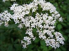 Common Valerian - 200 Seeds - Valeriana Officinalis - Highly Scented Wildflower