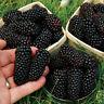 100pcs Nutritious Giant Thornless Blackbeery Seeds Antioxidant Fiber Healthful