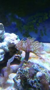 1 x FEATHER DUSTER WORM (Sabellidae) MARINE