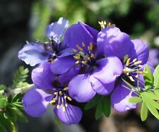 Guaiacum Officinale - Lignum Vitae - Rare Tropical Plant Tree Seeds (10)