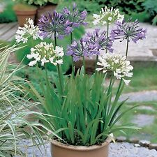 Agapanthus Blue & White Flowered Mix Seed Frost & Drought Tolerant Tough Plant
