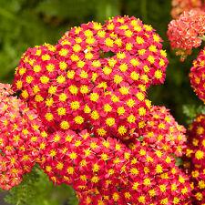 Red yarrow Achillea millefolium 1000 seeds *Herb* Medical CombSH A82