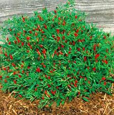 100pcs Thai Sun Hot Pepper Seeds Ornamental Chili
