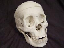 Bucky Skeleton Human Skull Life-Size, Halloween Props