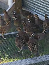*12 Pure Northern Bobwhite Quail Hatching Eggs
